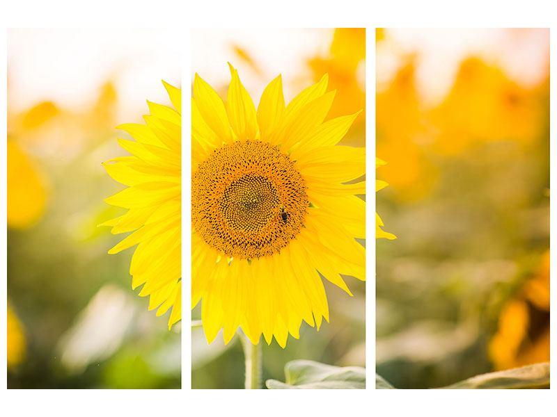 Aluminiumbild 3-teilig Sunflower