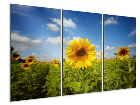 Aluminiumbild 3-teilig Sommer-Sonnenblumen