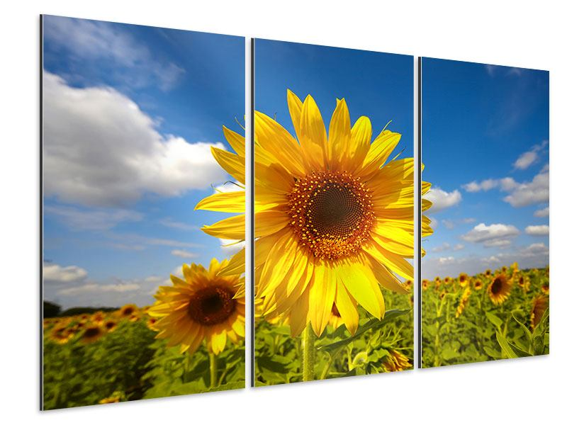 Aluminiumbild 3-teilig Das Feld der Sonnenblumen