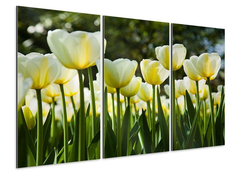 Aluminiumbild 3-teilig Tulpen bei Sonnenuntergang