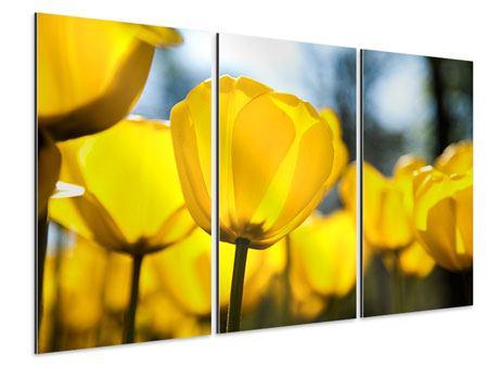 Aluminiumbild 3-teilig Gelbe Tulpen in XXL
