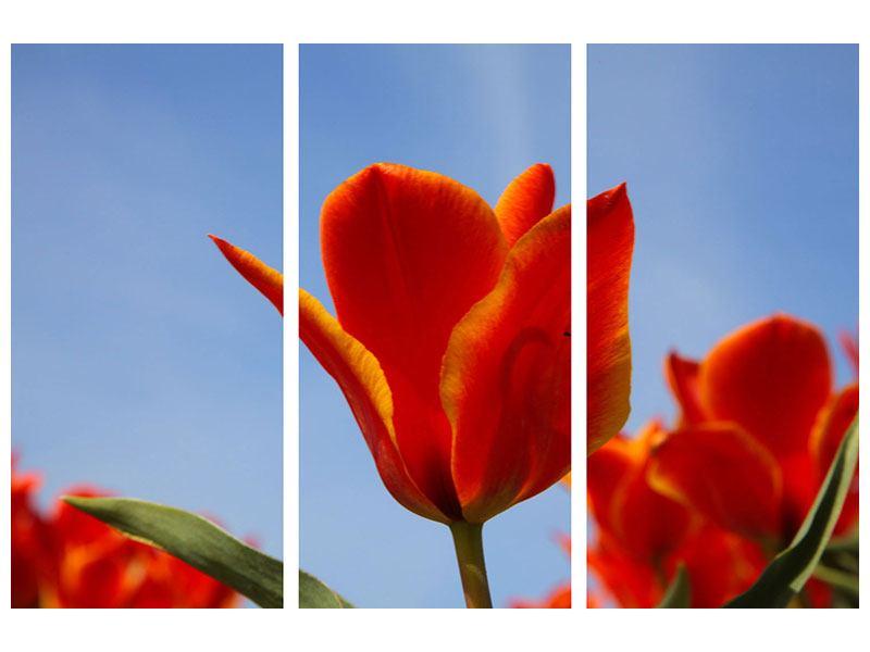 Aluminiumbild 3-teilig Rote Tulpen in XXL