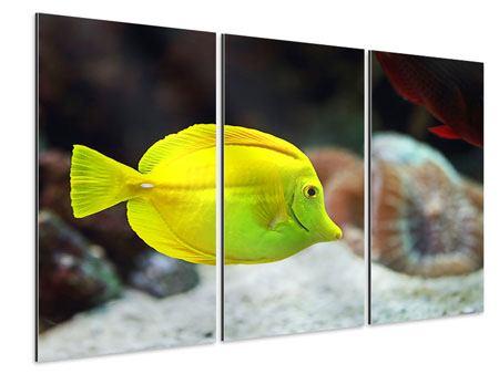 Aluminiumbild 3-teilig Segelflossendoktorfisch