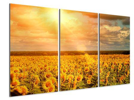 Aluminiumbild 3-teilig Goldenes Licht für Sonnenblumen