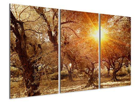 Aluminiumbild 3-teilig Olivenbäume im Herbstlicht