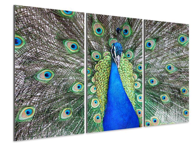 Aluminiumbild 3-teilig Blauer Pfau