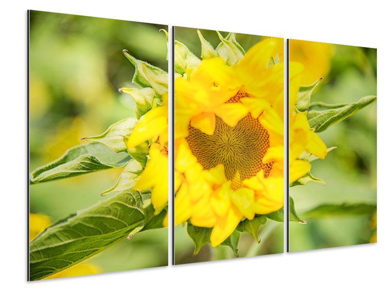 Aluminiumbild 3-teilig Wilde Sonnenblume