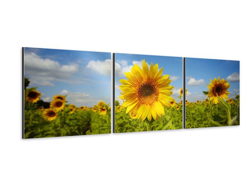 Panorama Aluminiumbild 3-teilig Sommer-Sonnenblumen