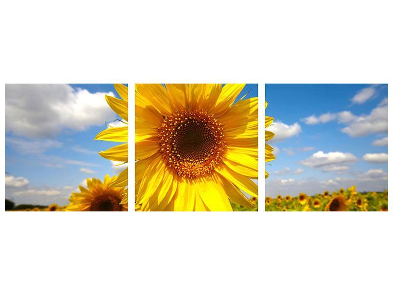 Panorama Aluminiumbild 3-teilig Das Feld der Sonnenblumen