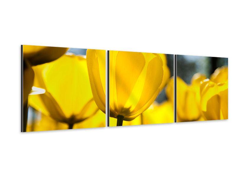 Panorama Aluminiumbild 3-teilig Gelbe Tulpen in XXL