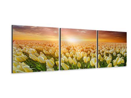 Panorama Aluminiumbild 3-teilig Sonnenaufgang bei den Tulpen