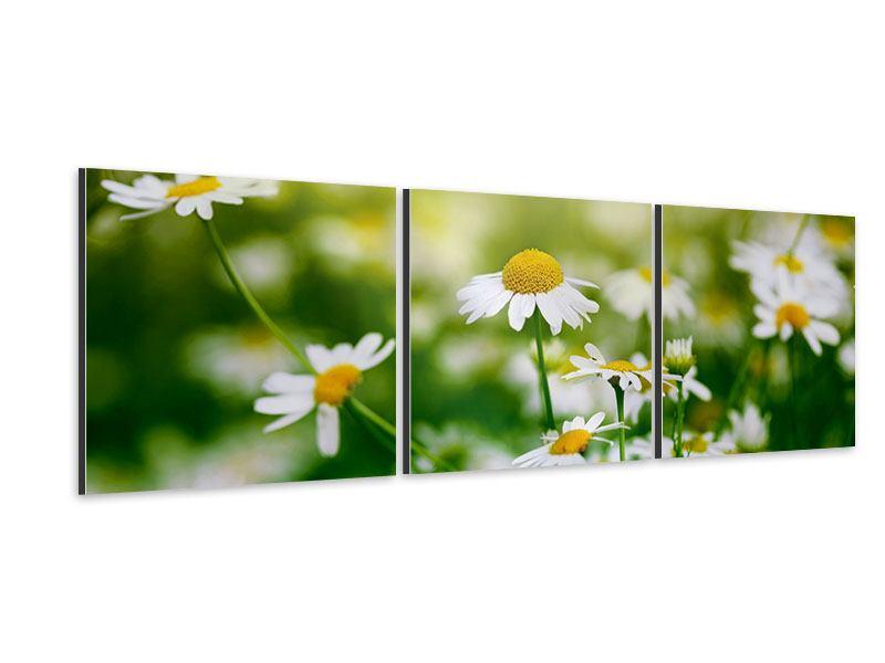 Panorama Aluminiumbild 3-teilig Die Gänseblümchen
