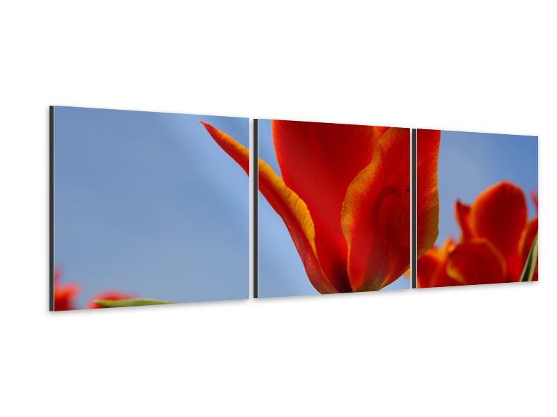 Panorama Aluminiumbild 3-teilig Rote Tulpen in XXL