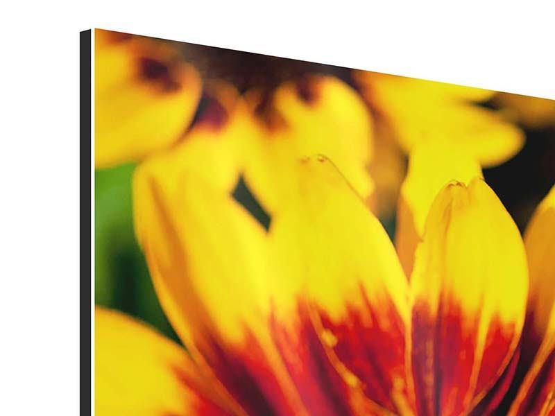Panorama Aluminiumbild 3-teilig Reife Sonnenblumen