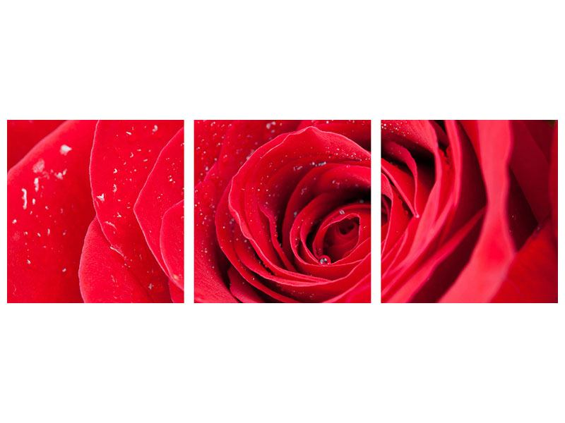 Panorama Aluminiumbild 3-teilig Rote Rose im Morgentau