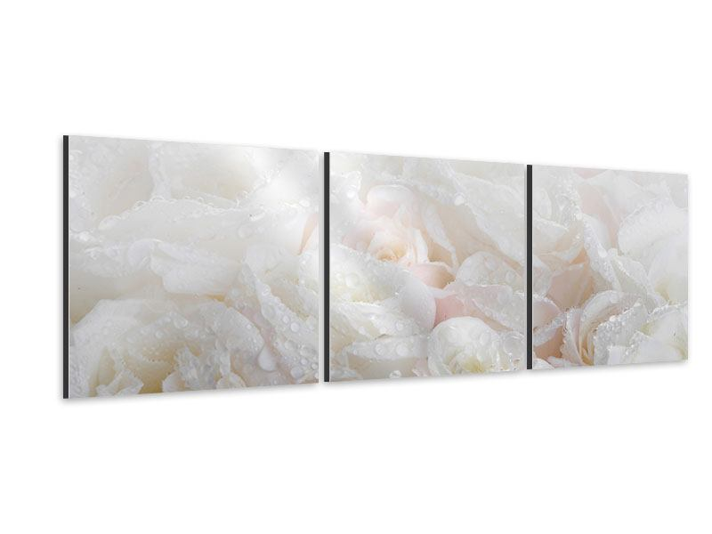 Panorama Aluminiumbild 3-teilig Weisse Rosen im Morgentau