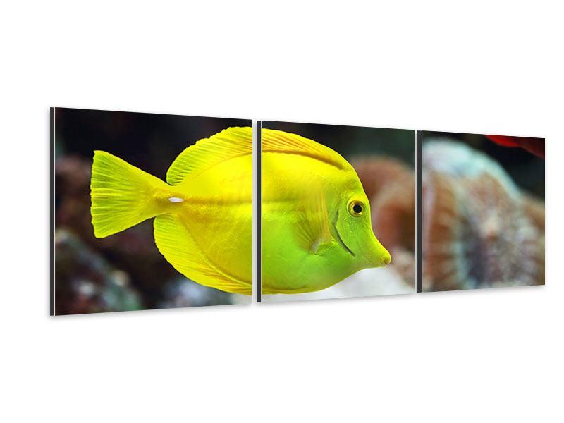 Panorama Aluminiumbild 3-teilig Segelflossendoktorfisch