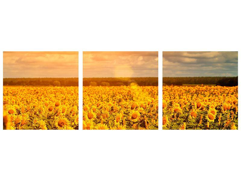 Panorama Aluminiumbild 3-teilig Goldenes Licht für Sonnenblumen