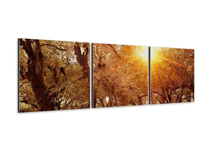 Panorama Aluminiumbild 3-teilig Olivenbäume im Herbstlicht