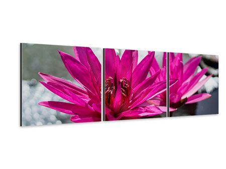 Panorama Aluminiumbild 3-teilig Seerosenduo in Pink