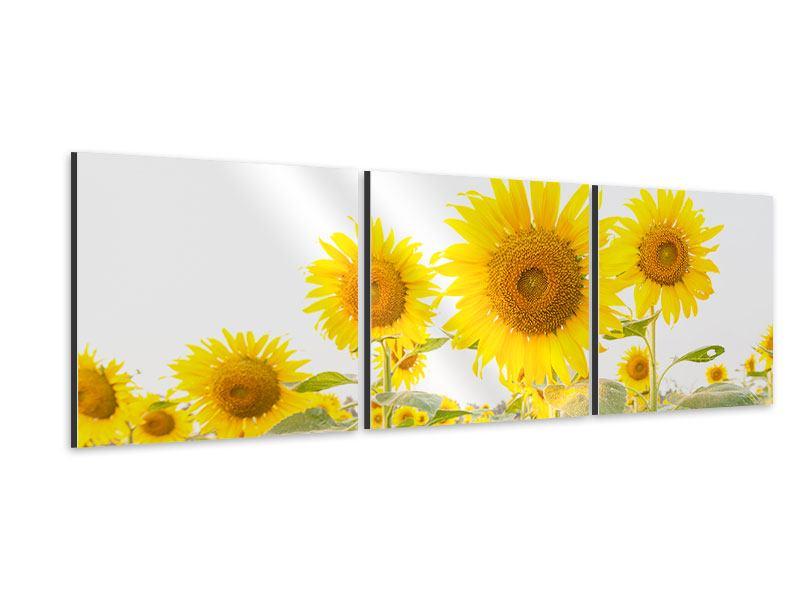 Panorama Aluminiumbild 3-teilig Das Sonnenblumenfeld