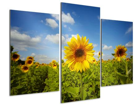 Aluminiumbild 3-teilig modern Sommer-Sonnenblumen