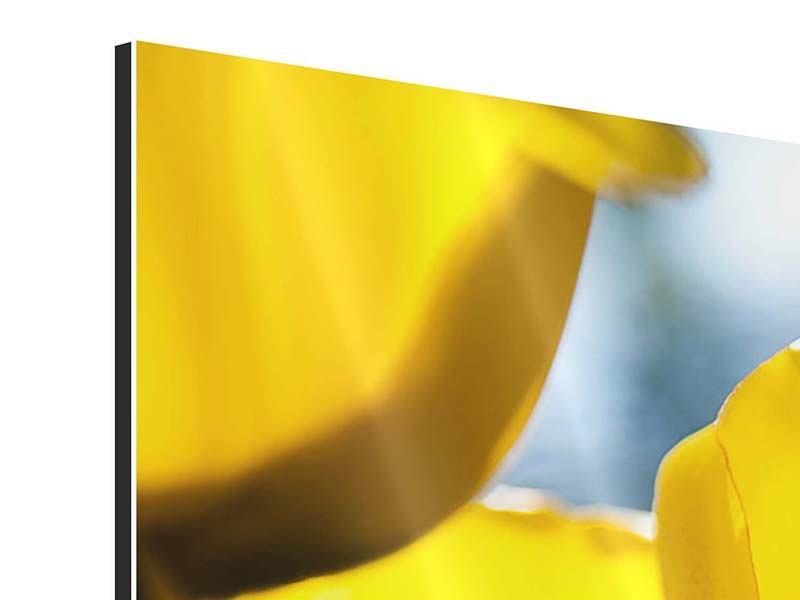 Aluminiumbild 3-teilig modern Gelbe Tulpen in XXL