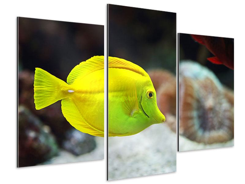 Aluminiumbild 3-teilig modern Segelflossendoktorfisch