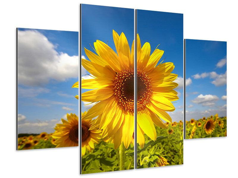 Aluminiumbild 4-teilig Das Feld der Sonnenblumen
