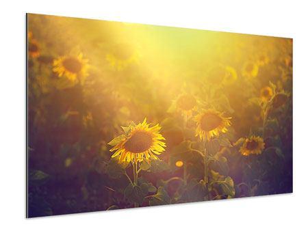 Aluminiumbild Sonnenblumen im goldenen Licht