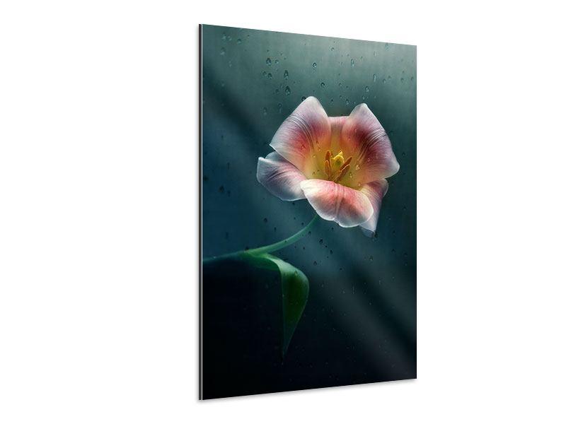 Aluminiumbild Die geöffnete Tulpe