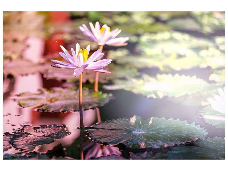 Aluminiumbild Seerosen im Teich