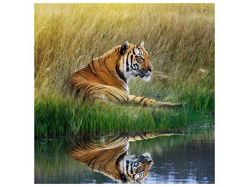 Aluminiumbild Der Tiger