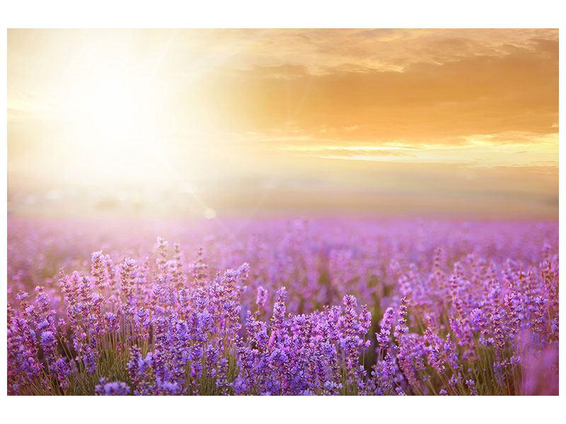 Aluminiumbild Sonnenuntergang beim Lavendelfeld