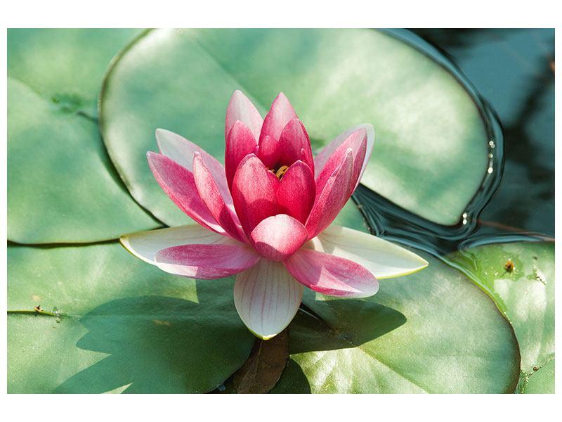 Aluminiumbild Der Frosch und das Lotusblatt