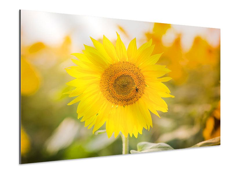 Aluminiumbild Sunflower