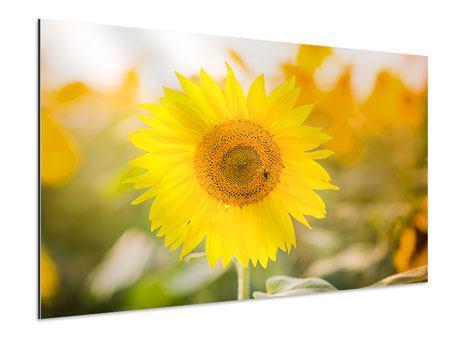 Aluminiumbild Sunflower