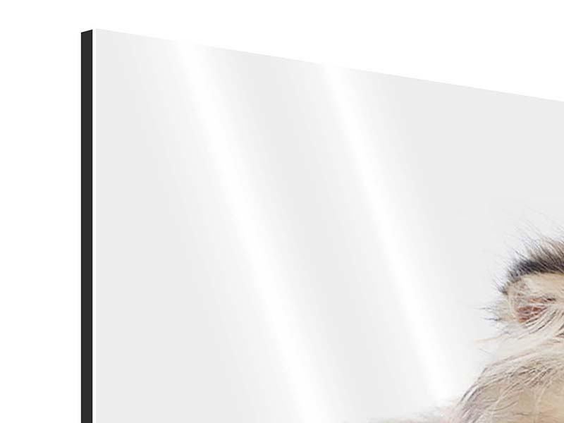 Aluminiumbild Perserbaby