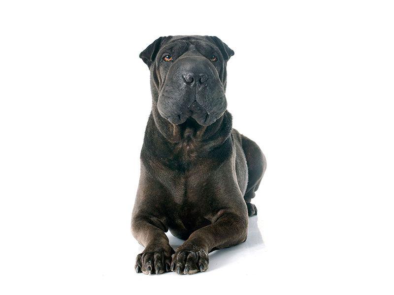 Aluminiumbild Der Mastiff