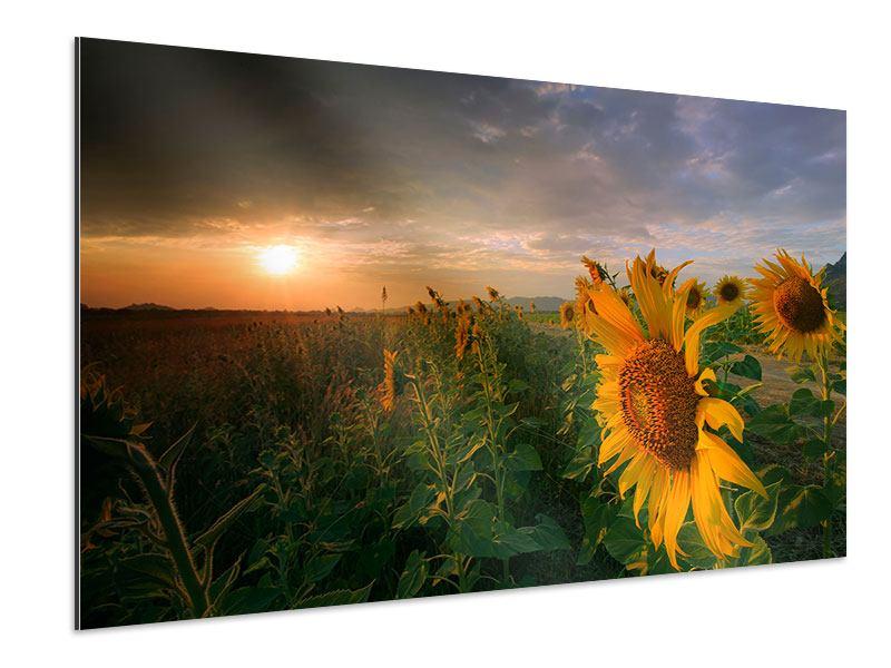 Aluminiumbild Sonnenblumen im Lichtspiel