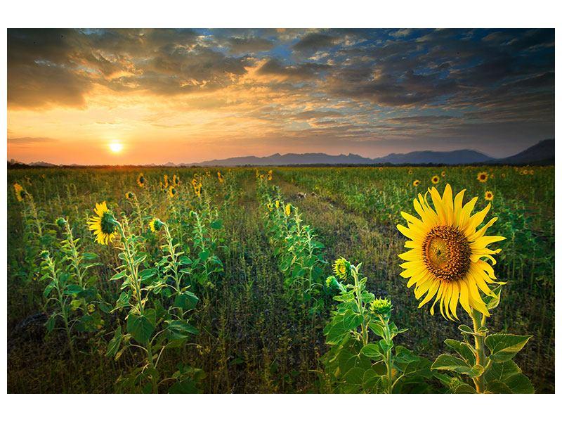 Aluminiumbild Sonnenblumenfeld im Abendrot