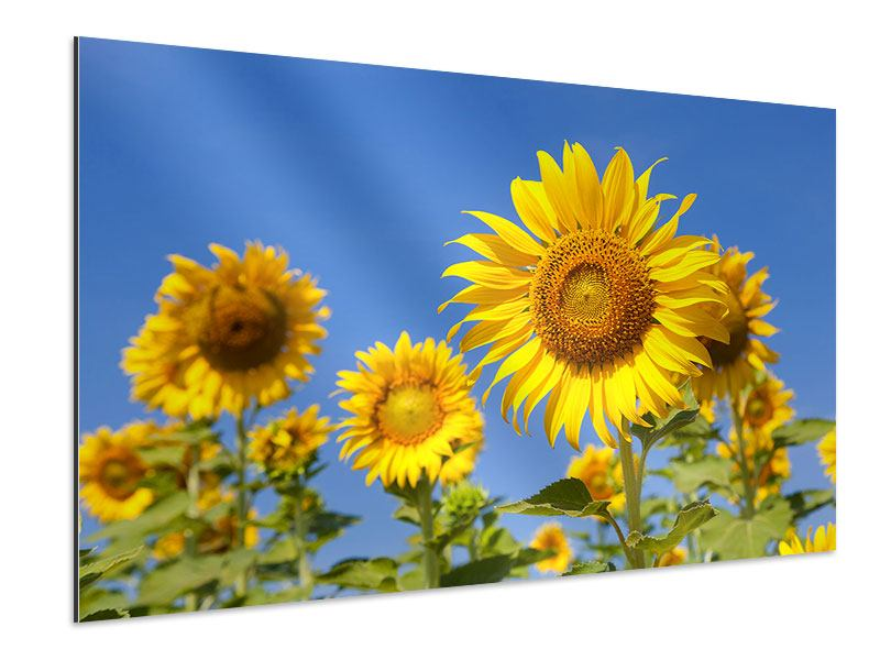 Aluminiumbild Himmlische Sonnenblumen