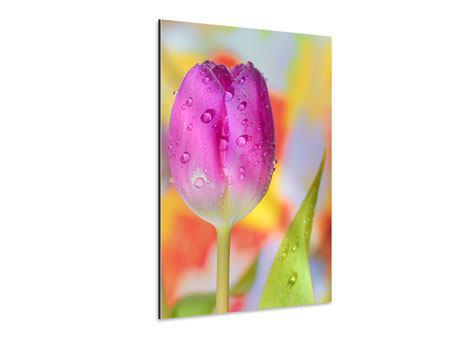 Aluminiumbild Die Tulpe im Morgentau