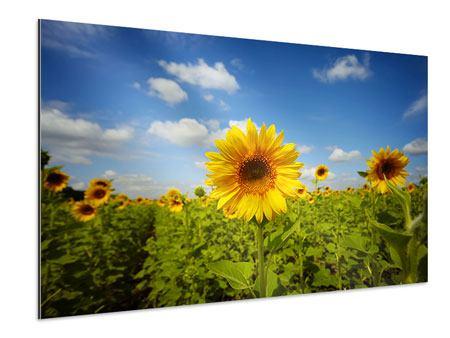 Aluminiumbild Sommer-Sonnenblumen