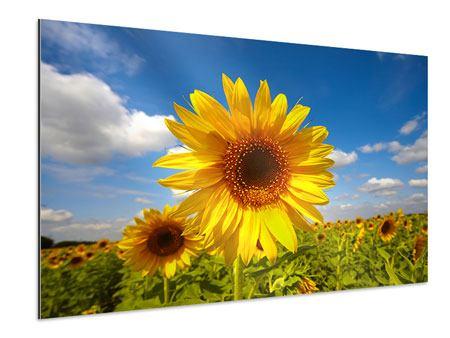 Aluminiumbild Das Feld der Sonnenblumen
