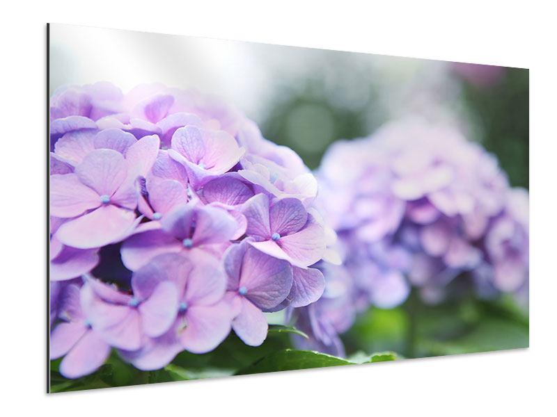 Aluminiumbild Hortensien