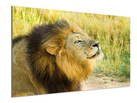 Aluminiumbild Der König der Tiere