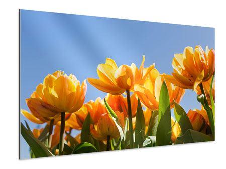 Aluminiumbild Märchenhafte Tulpen
