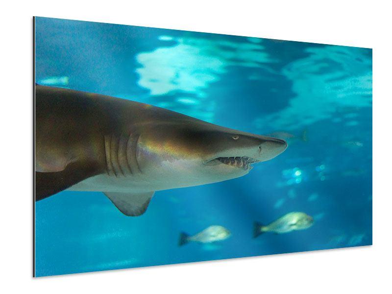 Aluminiumbild Der Haifisch