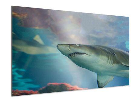 Aluminiumbild Hai